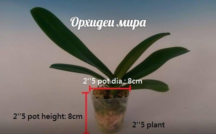 Фаленопсис размера 2.5