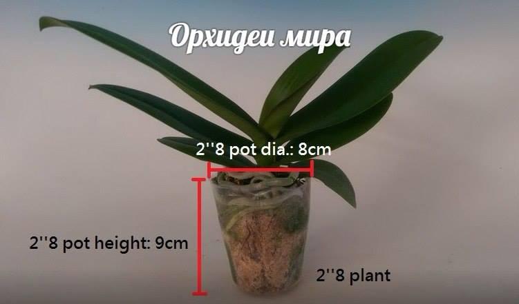 Фаленопсис размера 2.8