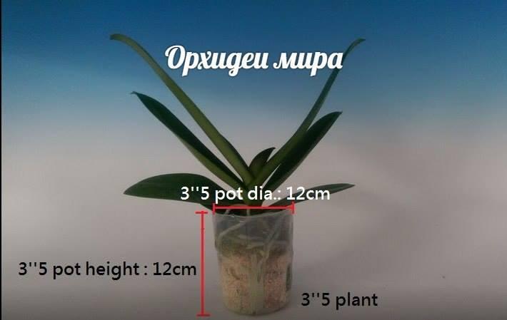 Фаленопсис размера 3.5