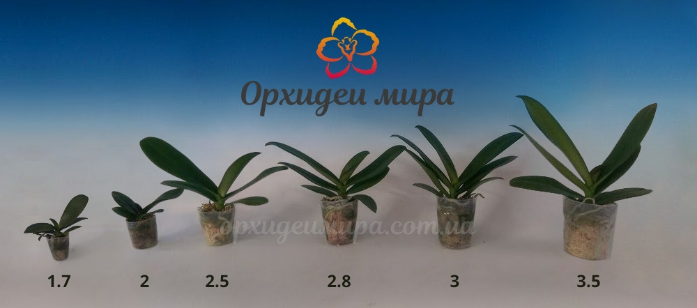 Размеры орхидей
