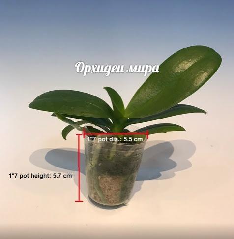 Фаленопсис размера 1.7