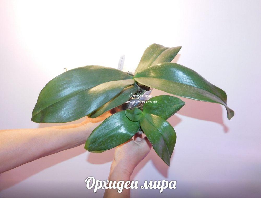 Фаленопсисы размера 3.5 и 2.5