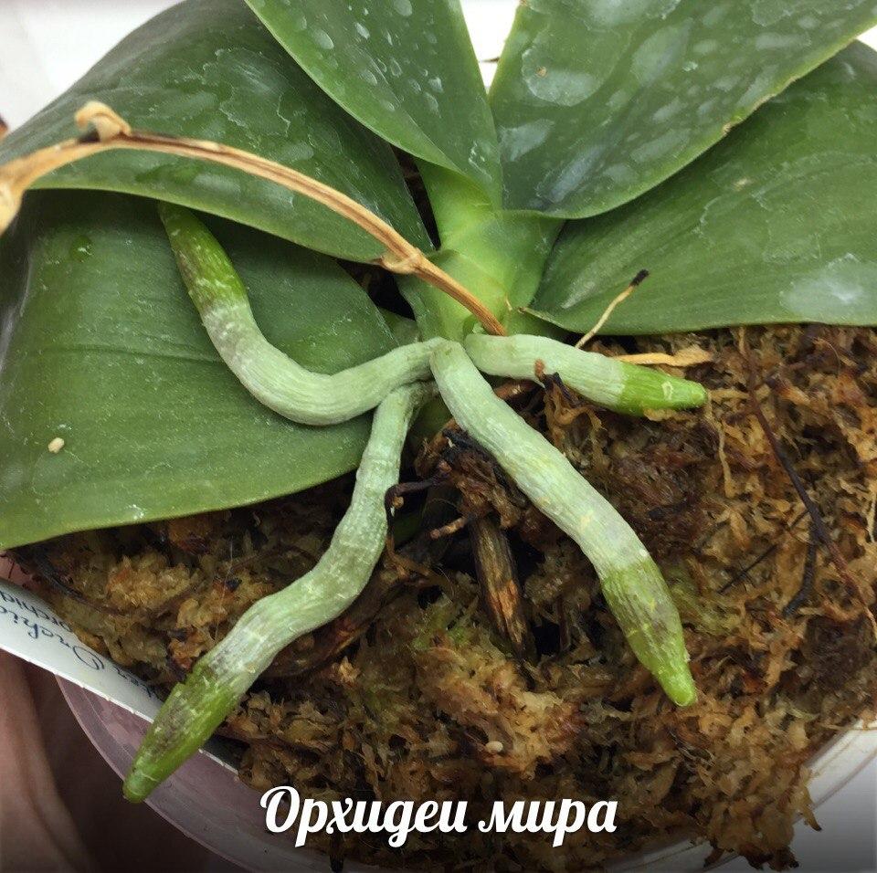 Здоровые корни орхидеи фаленопсиса