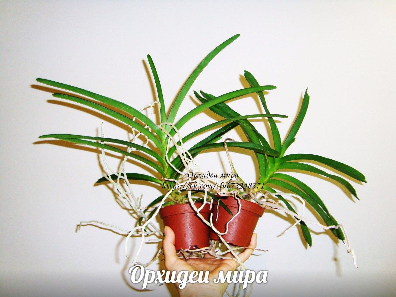 Здоровый вид молодой орхидеи ванды