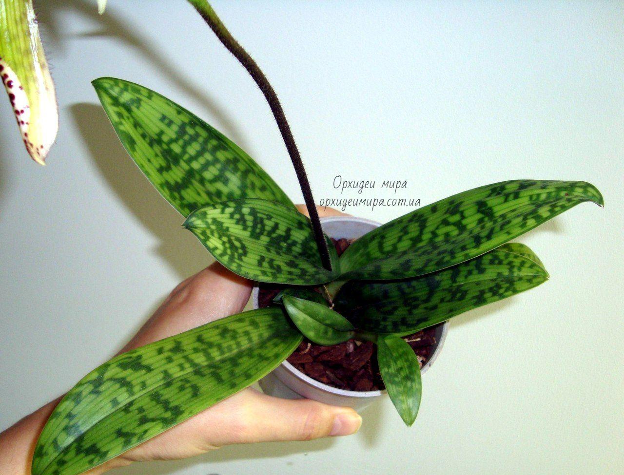 Здоровый вид орхидеи пафипедилума