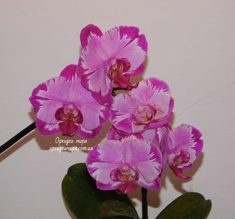 Домашнее цветение Phal. Leigong и Dtps. Red Cat