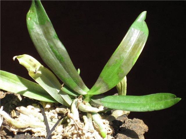 Бактериалка на орхидеях