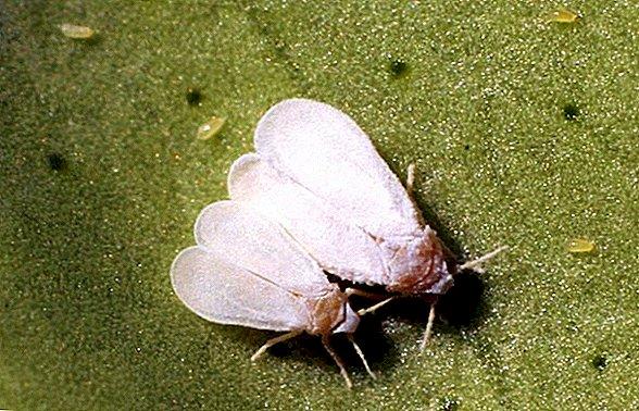 Белокрылка на фаленопсисе