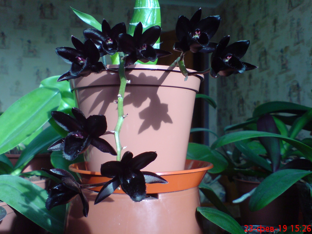 Fredclarkeara After Dark 'SVO Black Pearl'