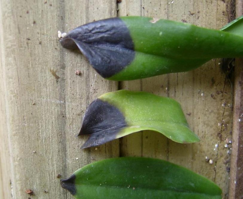 Отпадают, осыпаются листья на орхидее