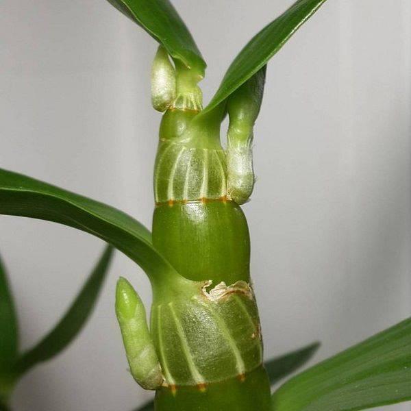 Цветение дендробиума