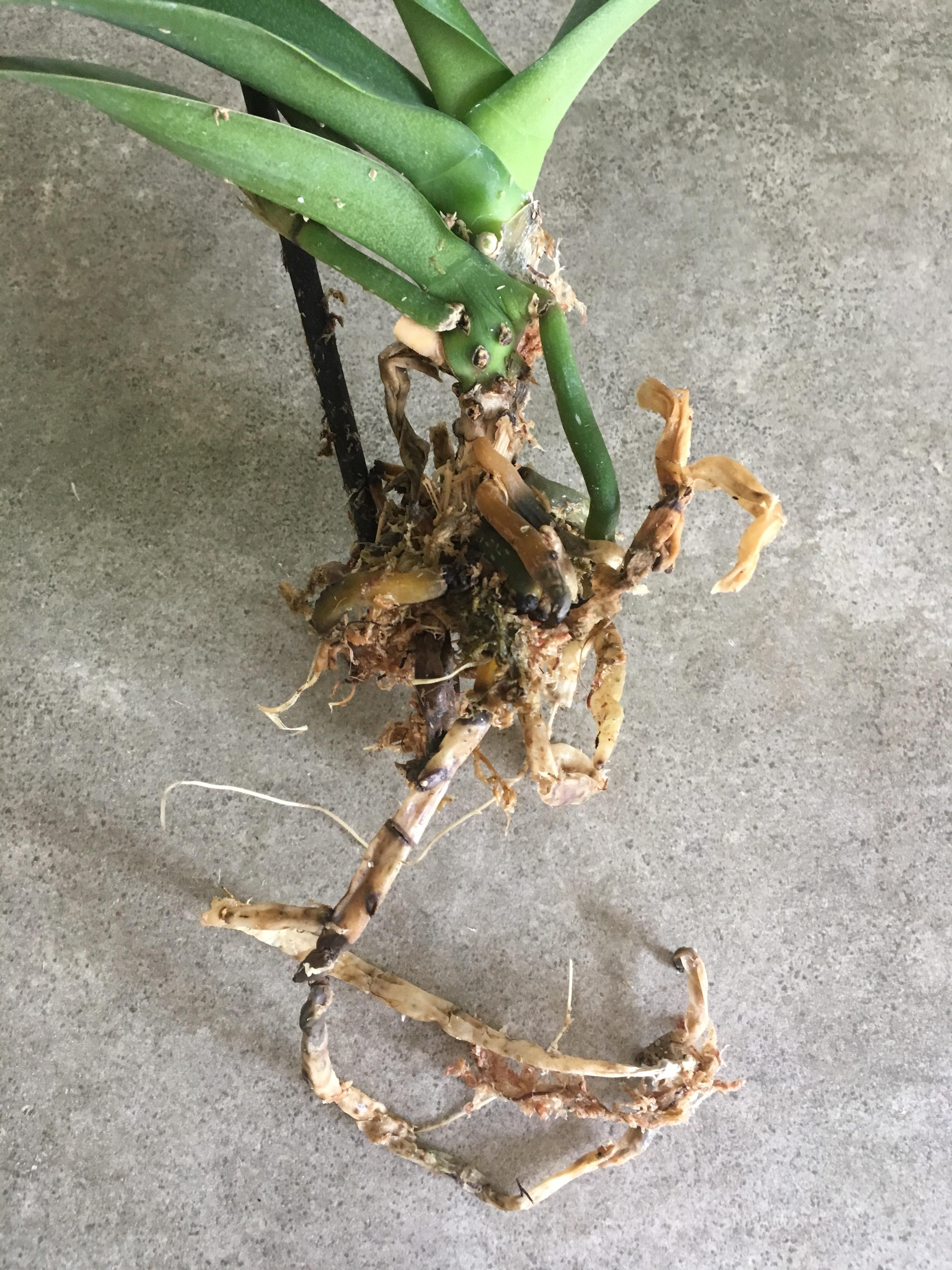 Фузариоз на корнях орхидеи