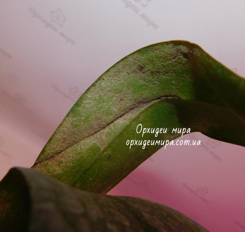 Темные пятна от клеща на орхидее