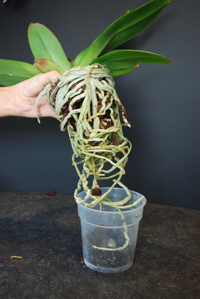 Корни орхидей