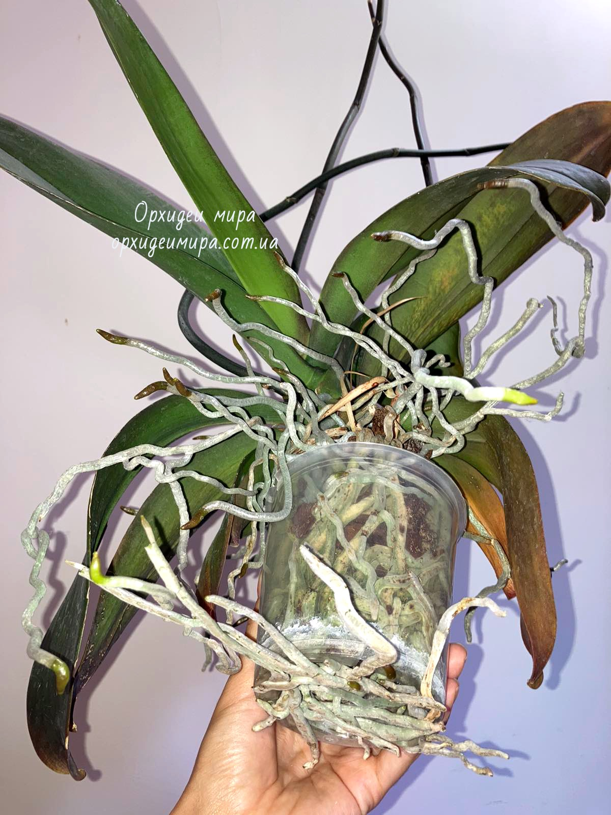 Здоровые корни фаленопсиса