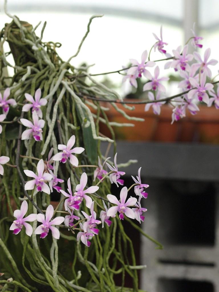 Фаленопсис без листьев Phalaenopsis wilsonii