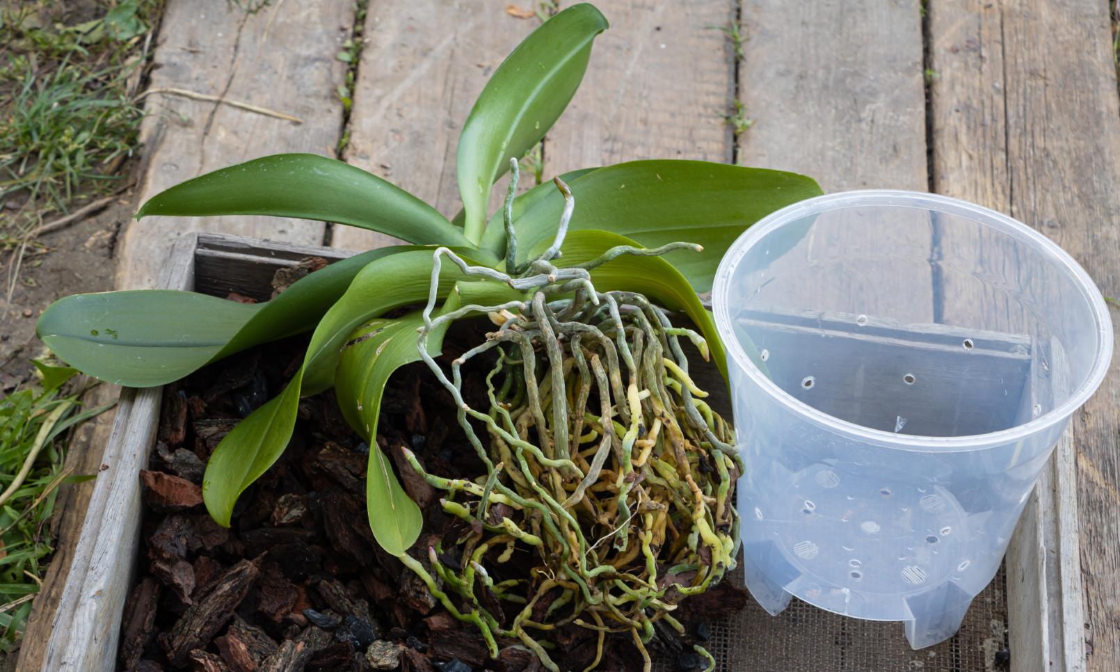 Обработка орхидей от нематод