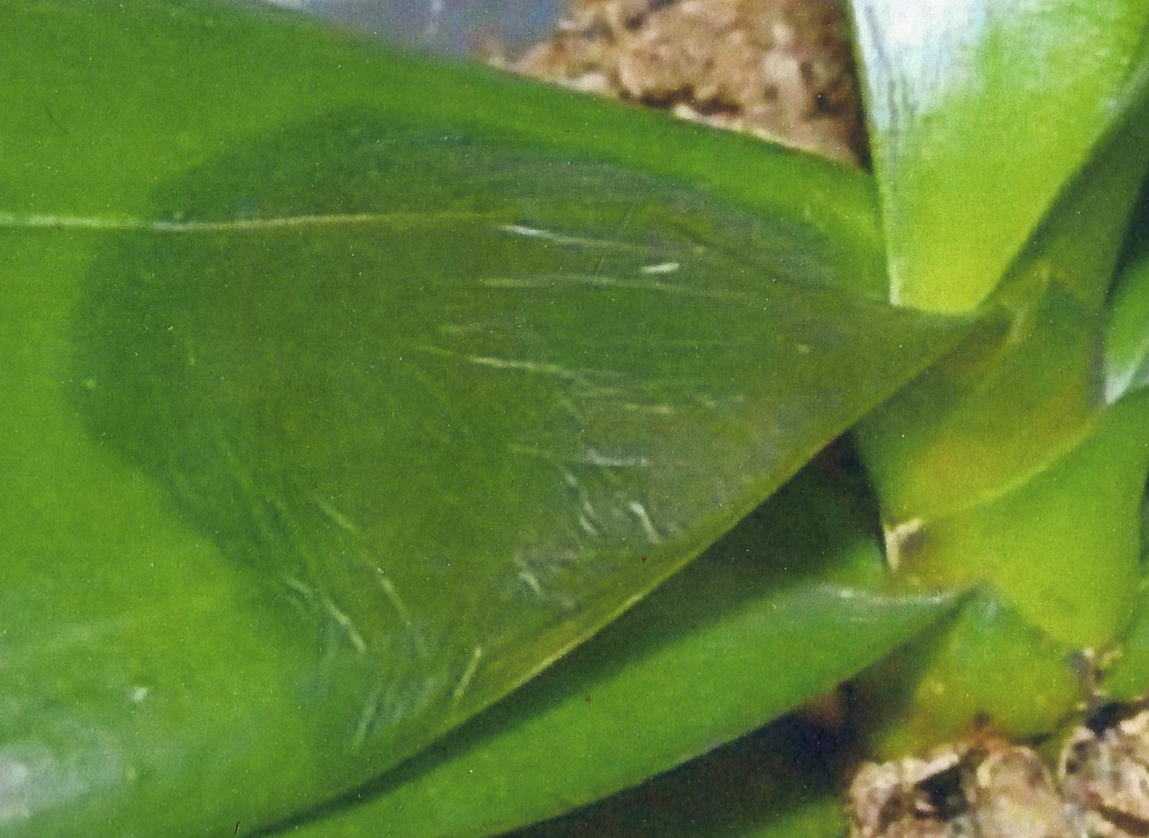 Мокрые пятна на листьях фаленопсиса