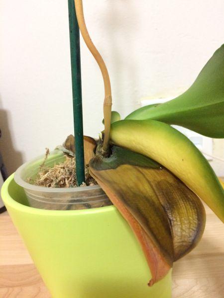 Болезнь листьев фаленопсиса