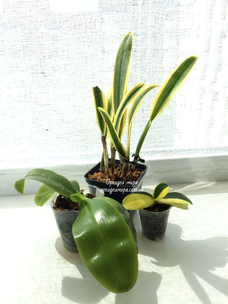 Пример притенения орхидей