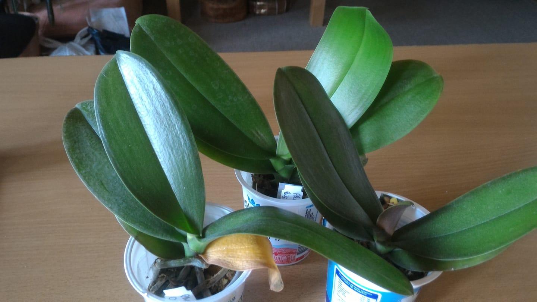 Подростки орхидеи