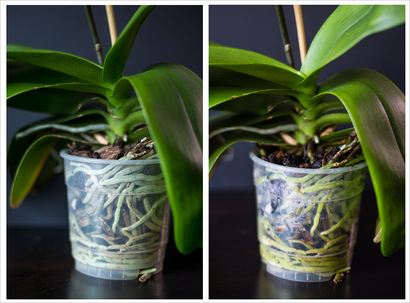 Когда поливать орхидею