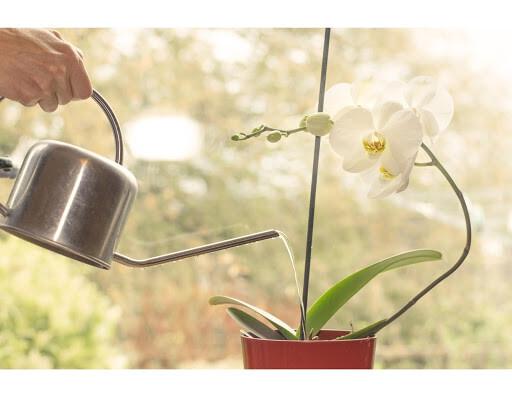 Орхидея полив