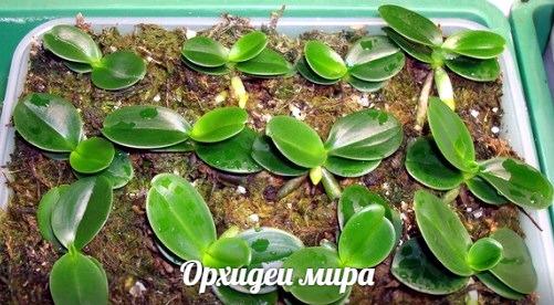 Сеянцы орхидей