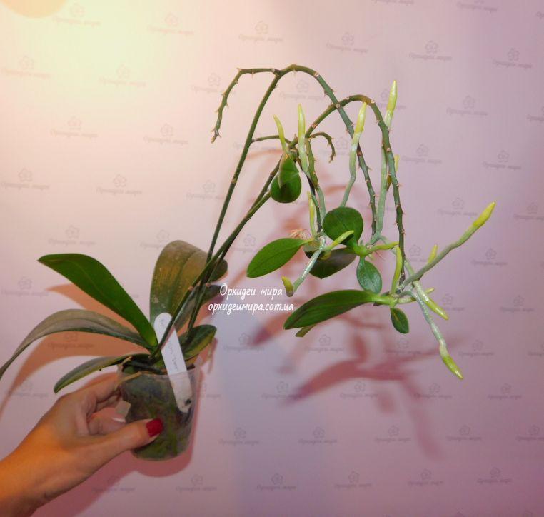 Детки на цветоносе фаленопсиса
