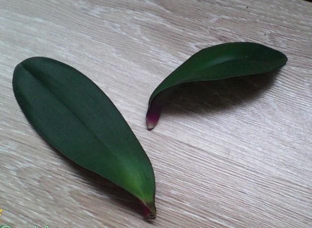 Выращивание орхидей с листа