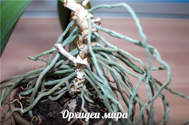 Ствол и корни фаленопсиса