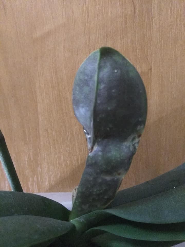 Трипсы на орхидее