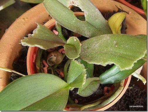 Орхидею погрыз слизень