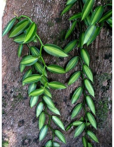 Орхидея ваниль