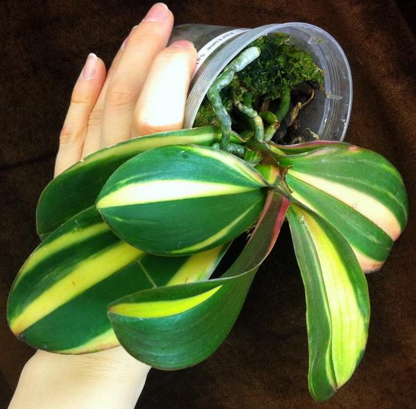Центральная вариегатность орхидеи