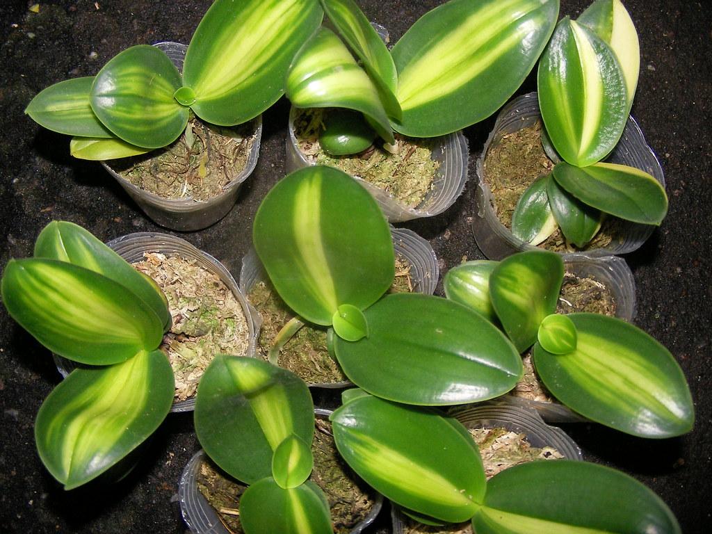 Вариегатные фаленопсисы