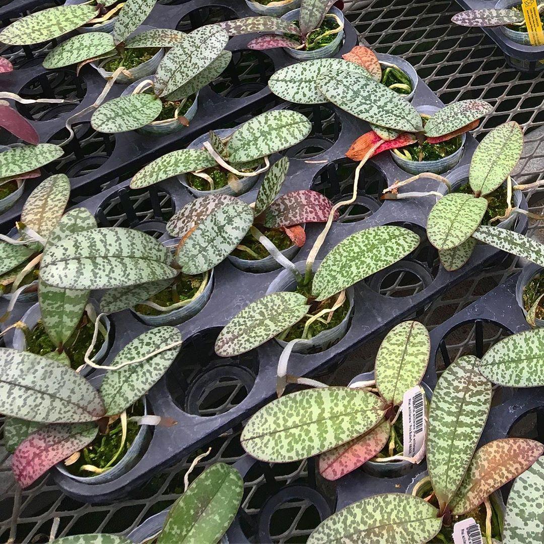 Вариегатные листья орхидей