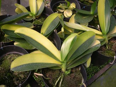 Орхидеи химеры
