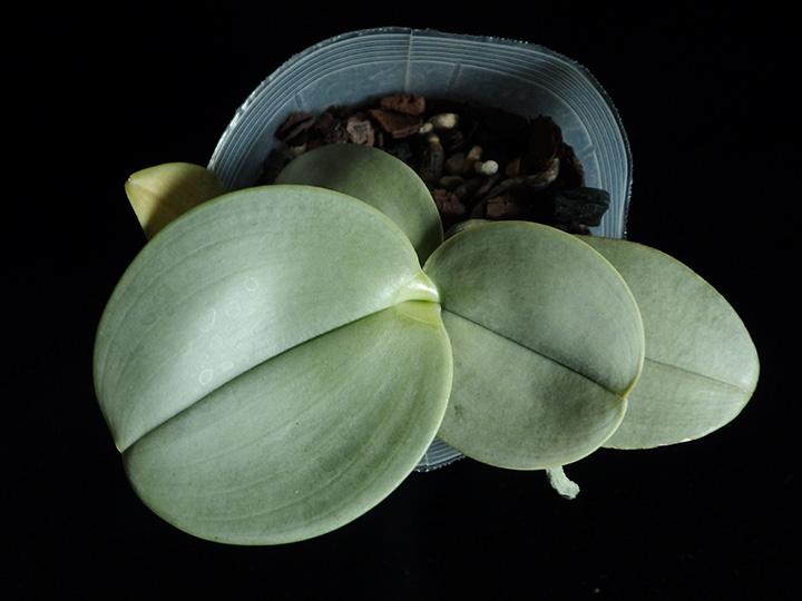 Сизые листья орхидеи
