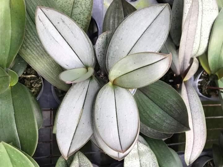 Голубые листья орхидеи