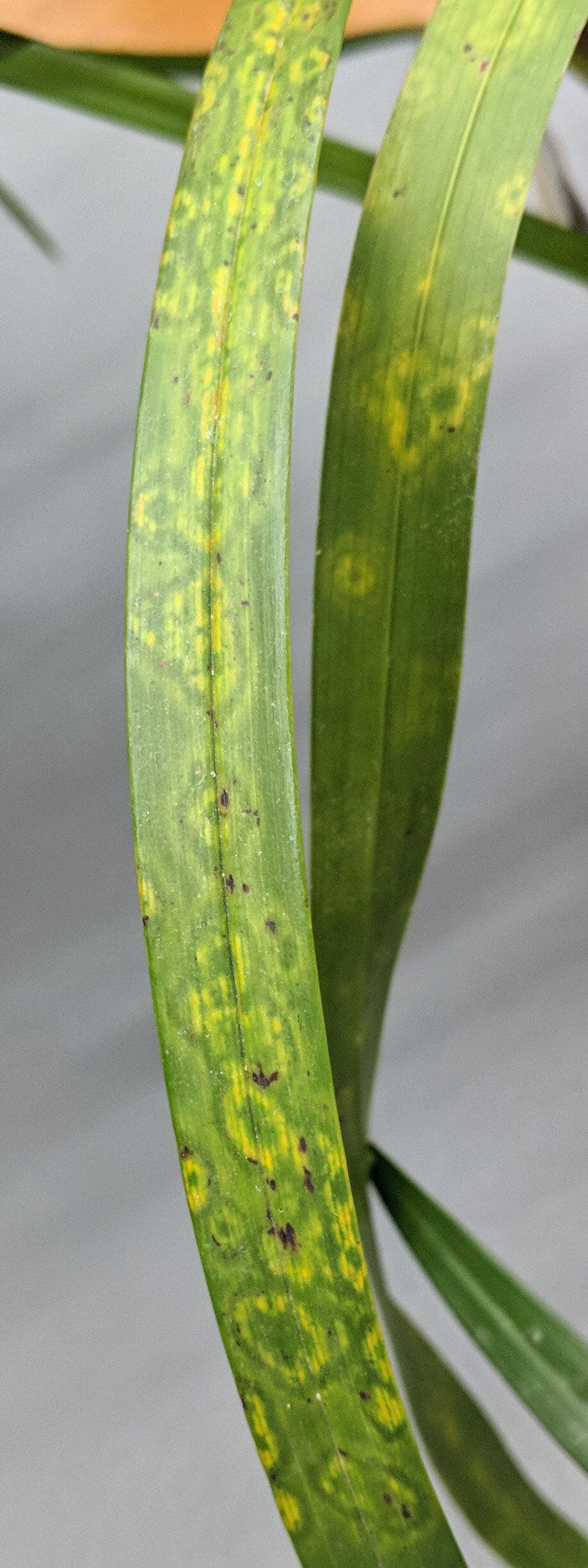 Odontoglossum ringspot virus