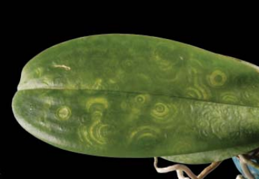 Вирус на орхидее