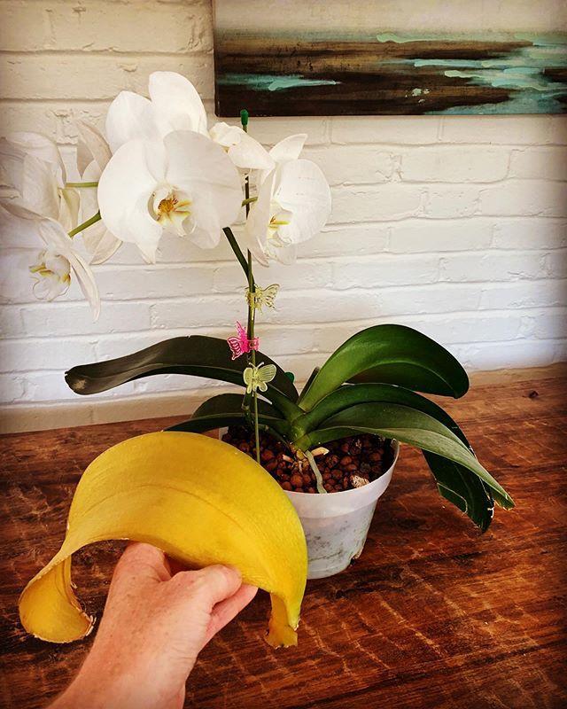 Хлороз листьев орхидей