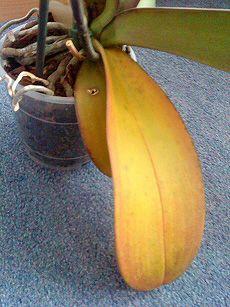 Желтые листья орхидеи