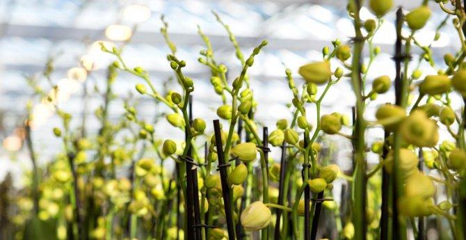 Цветущие орхидеи под заказ Украина